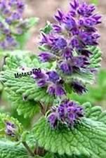 Népéta x faassenii  Herbe à chat 25 graines