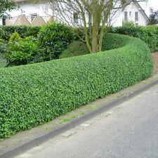 60 Wild Privet - Ligustrum Vulgare -  Hedge 30cm - Cell Grown