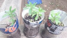 Goji Berry 30+ Fresh Cuttings 3 Amazing Varieties w/Extras & Propagation Guide