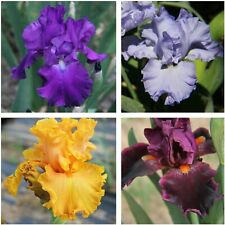 Iris Collection Mixed Colors Tall Bearded Iris Plant Lot 4 Rhizomes Ships Now!