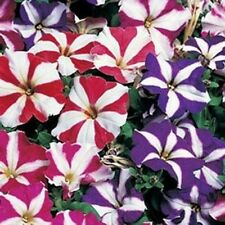 PETUNIA MULTIFLORA STAR MIX 50 FRESH SEEDS FREE USA SHIPPING