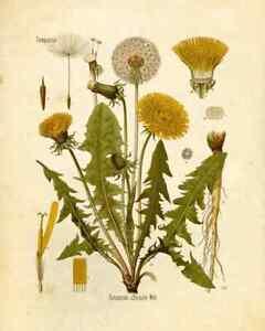 Schönes Wandbild Vintage Blume Botanik Löwenzahn Dandelion 21x30 cm Flora Nature