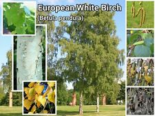 European White Birch Tree ~ 25 Seeds ~ (Betula pendula)~ Silver or Weeping Birch