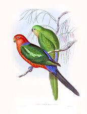 """Vintage John Gould Australian Bird Art CANVAS PRINT~ King Parrot 24""""X16"""""""