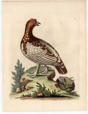 Reclamos-partrigd-Vogel-pájaros grabado edwards 1746 Birds