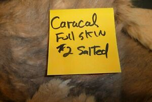 African Caracal cat full skin #2 Salted needs tanning
