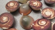 Rough Indonesia Eye of Shiva Shell Beads 7pcs