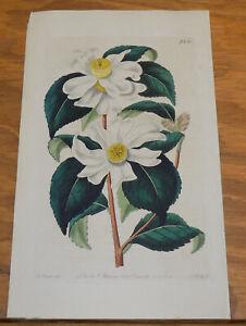1825 Antique COLOR Floral Print///OIL-SEED CAMELLIA, or, CAMELLIA OLEIFERA
