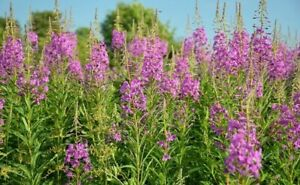 fireweed Siberian ALTAI fermented IVAN TEA with FLOWERS FIREWEED Willow herb