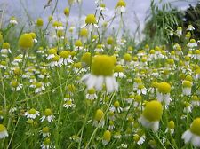 Chamomile Seeds- German- Heirloom Herb-  500+ Seeds     $1.69 Max Shipping!