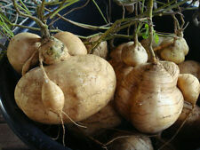 Best Yam Bean 25 Seeds, Jicama, Mexican Potato, Mexican turnip, Planting Seeds.
