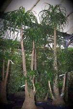 Für den Balkon oder Zimmerpflanze - Elefantenfuß Beaucarnea recurvata * Saatgut