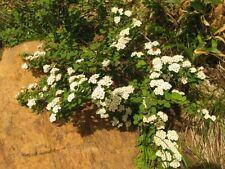 spiraea nipponica pot 2 litres spirée du japon