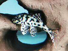 L236 SW PLECO, Hypancistrus. SUPER WHITE. (Catfish. Live fish. Zebra. Tank.)