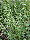 Premium Quality Natural Dried Polpala Ceylon Herbal Tea - Aerva lanata