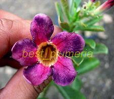 "Adenium Obesum Desert Rose ""Tiny_Purple"" Fresh 100 Seed"