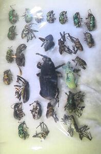 210526 Curculionidae Sulawesi x 30