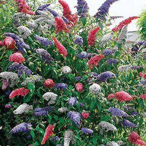 *BUTTERFLY BUSH - 20+ SEEDS - Exotic Rare Plant - Fantastic Display!! Free Post!