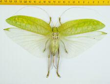 HOPPER/KATYDID - Orthoptera sp - Tapah Hills - MALAYSIA - 9269