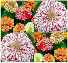 Flower Seeds Double Zinnia Candy Strip Mix Annual Flowers