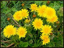 1000 Graines de Pissenlit / Dent de Lion / Fleur Sauvage