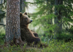 A1| Brown Bear Poster Print A1 Size 60 x 90cm Wild Animal Poster Gift #14813