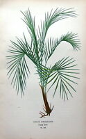 COCOS WEDDELIANA,  Edward Step Antique Botanical Print  1897