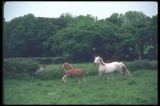 095080 Welsh Ponies At Llanwnda South Of Caernarfon A4 Photo Print