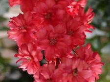50+  DELPHINIUM GIANT SCARLET RED aka LARKSPUR /  DEER RESISTANT  FLOWER  SEEDS