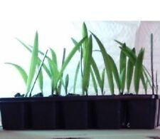winterharte immergrüne Teich-Rand-Bepflanzung Solitärpflanzen: 3 Mazari- Palmen