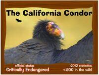 The California Condor postcard, a California Endangered Animal success story