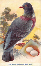 "Raphael Tuck British birds and their eggs ""The Wood Pigeon Ring Dove"" Postcard"