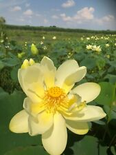 10 Pcs Yellow American Lotus Water Lily Seeds Very Cold Hardy.