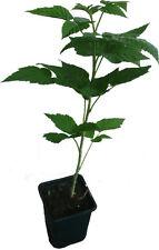 Himbeere Twotimer® Sugana ®  Pflanze neue Spitzensorte mit großen süßen Früchten