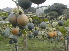 Passiflora ligularis, Raro Frutto della Passione, Frutti Commestibili, schnellwüchs.!!!