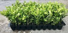 Japanese Boxwood Qty 15 Live Plants Buxus Fast Growing Cold Hardy Evergreen
