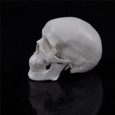 9.9CM Teaching Skull Human Anatomical Anatomy Head Medical Model Convenient#1