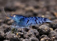 10 (ten) x Blue Star Striped Shrimps (Neocaridina cf. davidi)