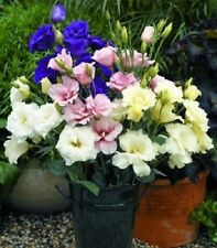 20+ PURPLE, PINK AND WHITE MIX LISIANTHUS FLOWER SEEDS  / LONG LASTING ANNUAL