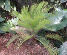 Plant: 1x Cycas ophiolitica- Rare Cycas Cycad Palm -no Seeds