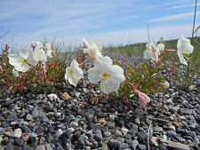 Weiße Nachtkerze 50 Samen Oenothera Pallida