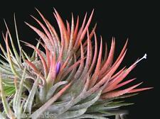 2 X Tillandsia IONANTHA SCAPOSA Live Red air plant airplant house decoration