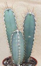 CEREUS VALIDUS, grafting stock grafted cacti night flower cactus seed 50 SEEDS