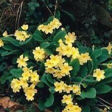 Primula - Vulgaris - 50 Seeds