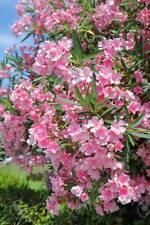 Light Pink Oleander   Nerium oleander   Organic   20 Seeds (Free US Shipping)