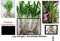 5 Live Pandan Fragrant -herb Pandanus Amaryllifolius for Planting with Rhizome