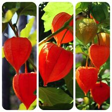 "Lampionblume Physalis alkekengi ""Giant"" tolle Dekoration alte Heilpflanze"
