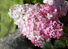 Hydrangea Paniculata Pink Diamond 30-40cm Tall In 2L Pot, Stunning Flowers