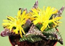 Faucaria Tuberculosa, exotic ice plant rare succulent living rock seed 20 Seeds