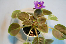 "African Violet ""Kentucky Alien Invasion"" New"